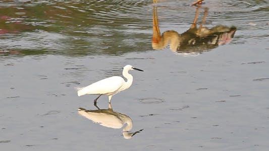 Thumbnail for Little Egret Goes Fishing
