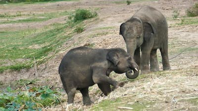Mother elephant is helping a fallen baby elephant.