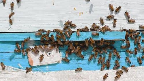 Bee aus nächster Nähe. Bienen im Bee Hive. Ein Schwarm der Bienen