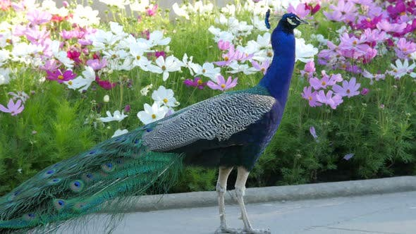 Indian peacock walking by colorful flowers