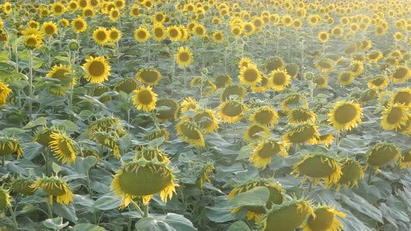 Backlit from sun over sunflower Helianthus annuus field 4K footage