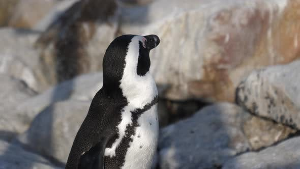 Close up from a penguin on the rocks around Betty's Bay