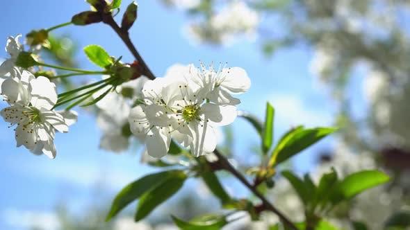 Cover Image for Spring Flowering Cherries 3