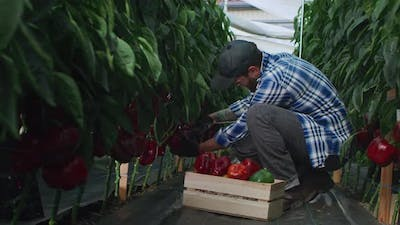 Adult Farmer Harvesting Peppers in Greenhouse