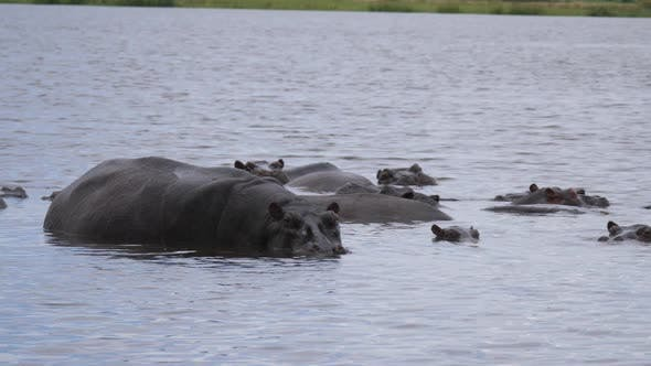Thumbnail for Group of hippos in a lake