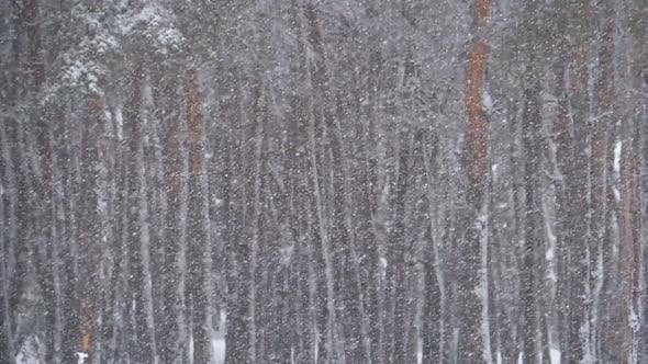 Thumbnail for Snowfall in Winter Pine Forest with Snowy Christmas Trees. Slow Motion