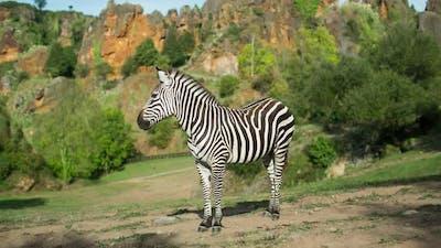 Zebra in the Safari