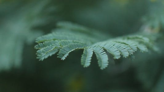 Thumbnail for Acacia Dealbata 04