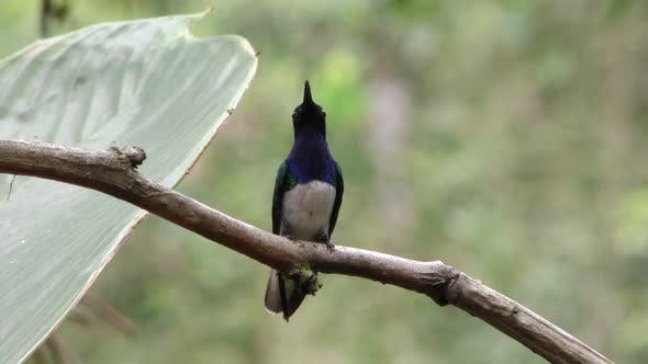 Thumbnail for White-necked Jacobin Hummingbird Male Adult Lone Perched Looking Around Ecuador