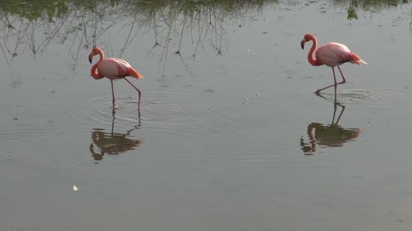 Cover Image for Flamingos in the morning at Isabela