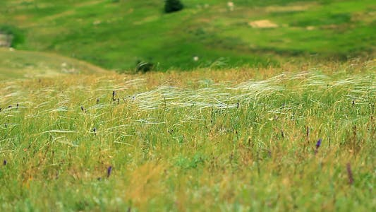 Feather Grass In The Crimean Steppes