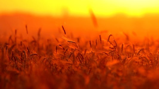 Thumbnail for Wheat At Sunset