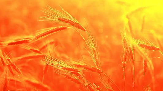 Summer Wheat Crop