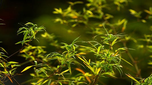 Thumbnail for Bamboo Leaves In The Morning Light