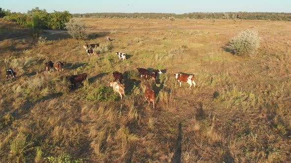 Thumbnail for Aerial View of a Herd of Cows Grazing in the Ukrainian Village on Countryside