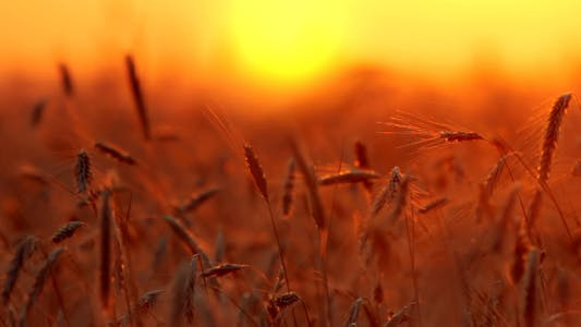 Thumbnail for Wheat At Sunset 2