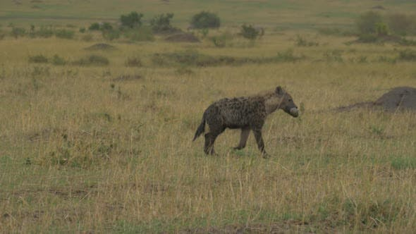 Thumbnail for Hyena carrying an animals leg