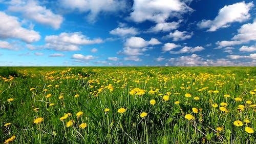 Glade Of Dandelions