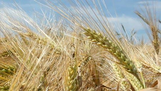 Thumbnail for Barley Close Up
