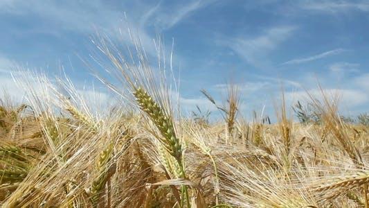 Thumbnail for Ripe Barley
