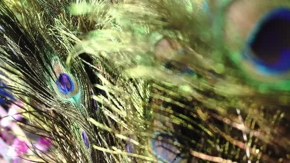 Thumbnail for Zoom in to peacock feather with blur at foreground.
