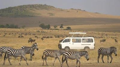 Safari cars passing by zebras and gnus