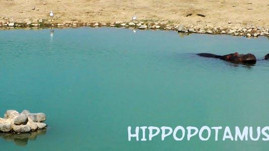 Thumbnail for Hippopotamus 2