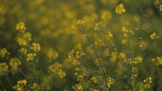 Thumbnail for Yellow Rape Flowers