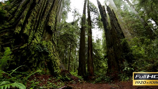 Thumbnail for Redwood Forest (7-Pack)