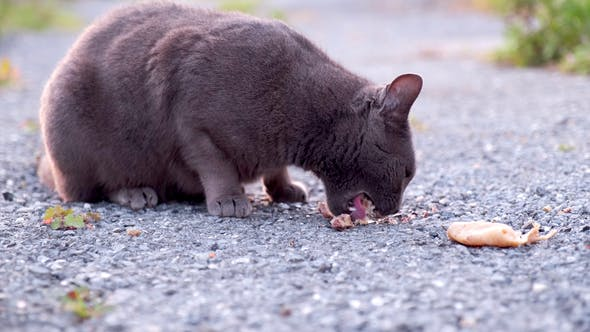 Stray Black Cat Eating Meat Bone on the Street