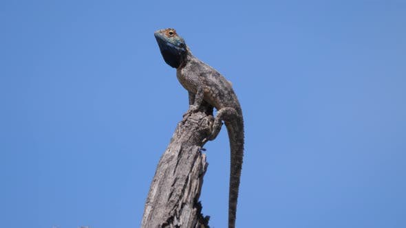 Cover Image for Male ground agama on a branch
