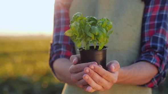 Thumbnail for A Man Farmer Is Holding a Pot of a Basil Plant in His Hands