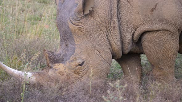 Thumbnail for Close up from a white rhino eating grass
