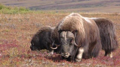 Musk Ox Male Female Adult Herd Many in Autumn in Alaska