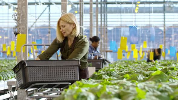 Thumbnail for Blond Woman Transporting Plants in Greenhouse