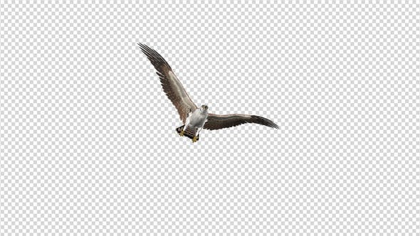 Thumbnail for American Kestrel - Flying Transition