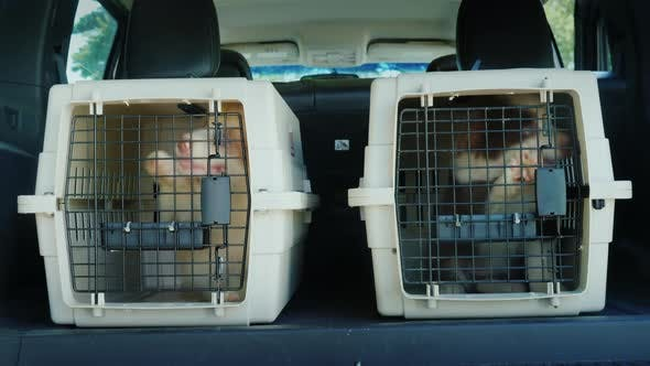 Thumbnail for Two Cages with Puppies in the Trunk of a Car. Dog Delivery
