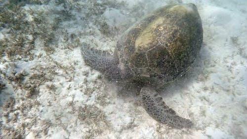 big Adult green sea turtle (Chelonia mydas)