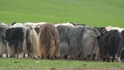 Herd of Muskox With Thick Coat and Long Fur in Cold Arctic Region