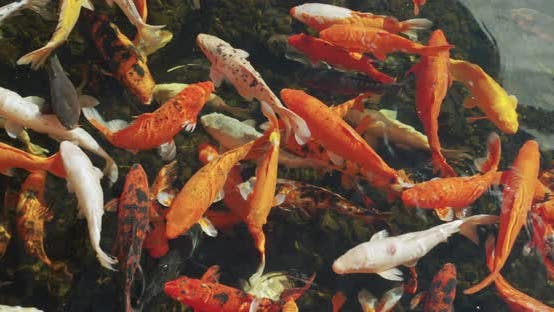 Cover Image for Multicoloured Koi Fish Swimming Graceful in a Water of an Garden.