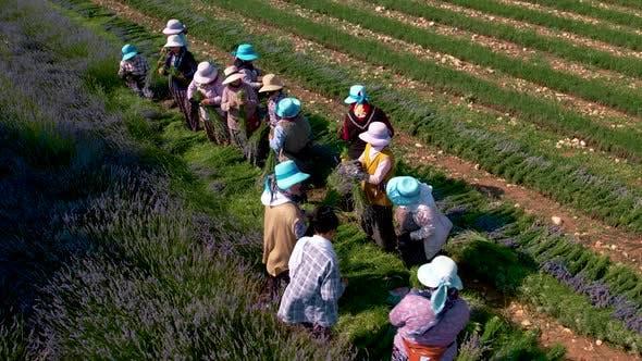 Woman Farmers, Lavender Field