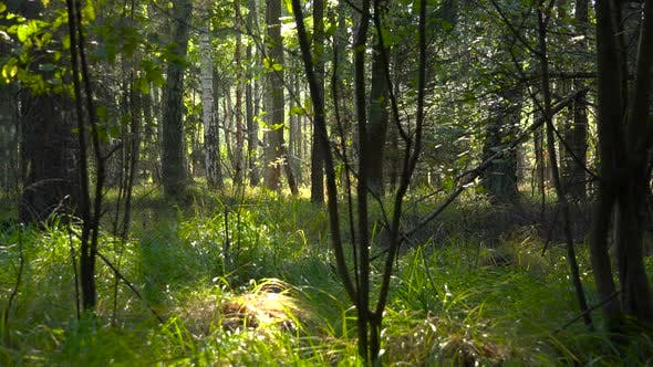 Thumbnail for A Forest with Grassy Ground on a Sunny Day
