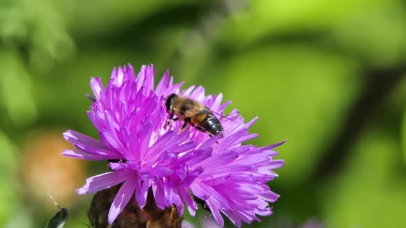 Thumbnail for Honeybee Busy in Big Beautiful Flower in Spring Field, Nature Wildlife Shot
