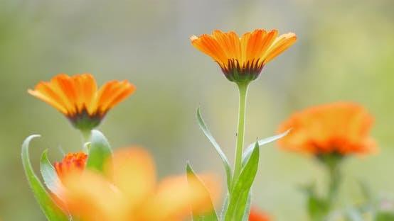 Thumbnail for Orange daisy flower