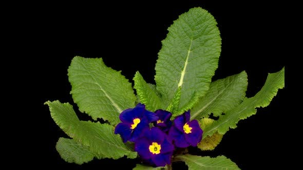 Timelapse of Blue Primula ( Primrose ) Flower Blooming