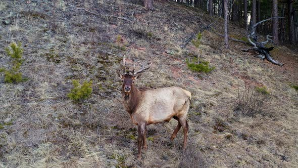 The Horned Male Maral Runs Away