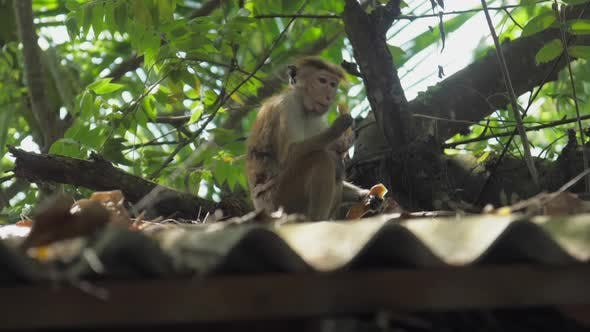 Wild Toque Macaque Sits on Roof and Enjoys Eating Fruits