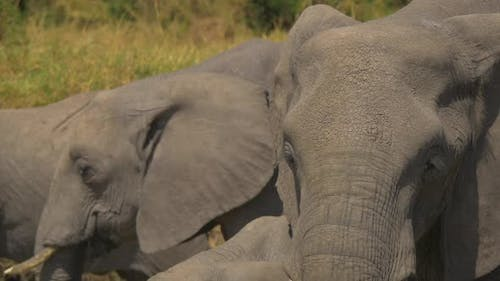 Close up of African elephants