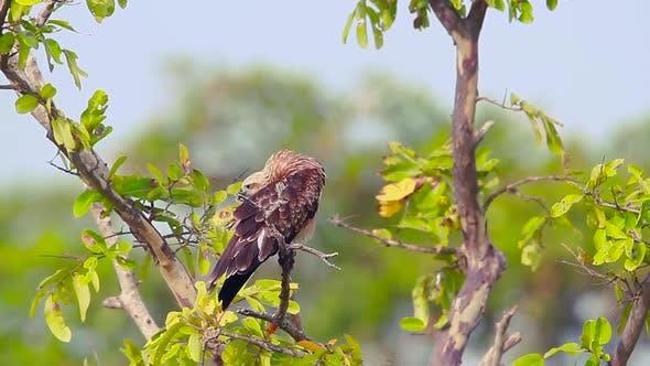 Thumbnail for Changeable hawk eagle in Arugam bay nature reserve, Sri Lanka