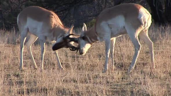 Thumbnail for Pronghorn Antelope Buck Male Adult Pair Playing Play Sparring in Spring Dawn Morning